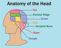 antomy of Head - Male Hair Loss